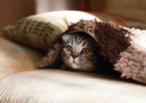 Gray cat with yellow eyes under pink and burgundy blanket